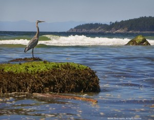 Davis Bay's resident Great Blue Heron keeps watch.